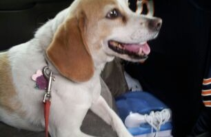 Russel the Beagle needs a new home
