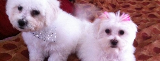 Two adorable bichon/maltese pups are available for adoption!